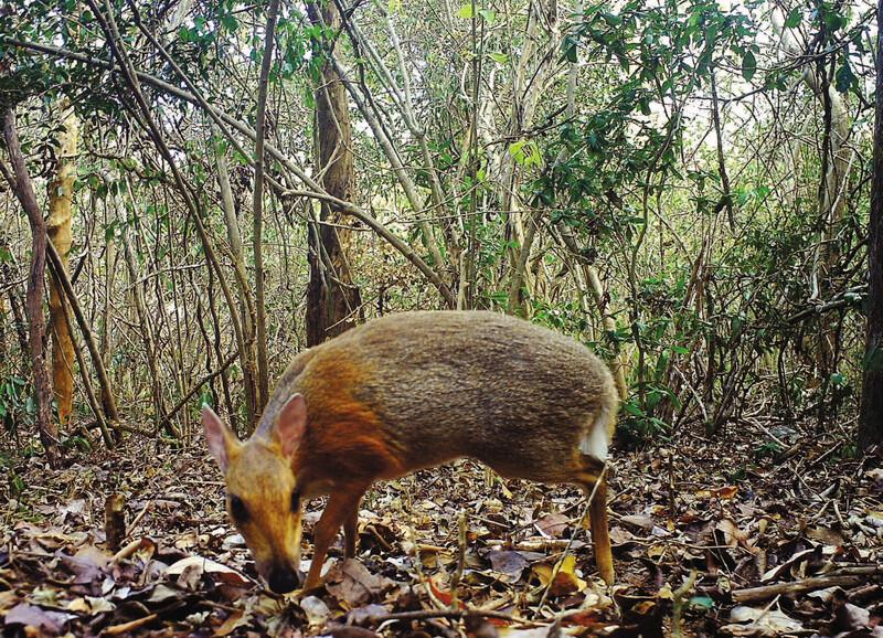 11/11/19 ciervo-raton-vietnam-extinto/ ciervo ratón