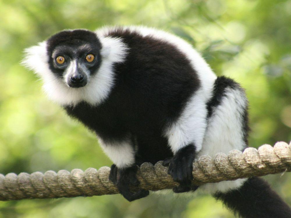 Lémur De Madagascar En Peligro De Extinción Por Deforestación y Cambio Climático