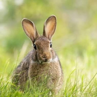 UICN: Conejo está en peligro de extinción por primera vez.