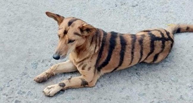 Granjero pintó de tigre a perro para espantar monos asaltantes.