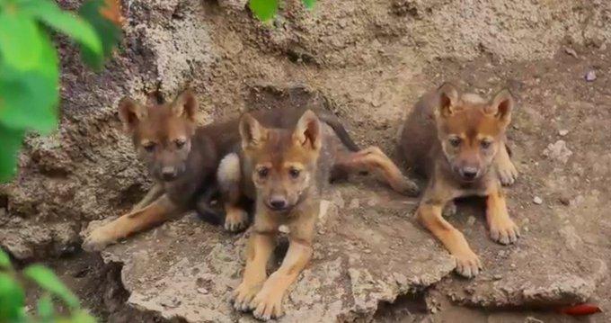 crias de lobo mexicano en su hábitat natural
