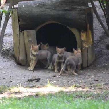 Crias de lobo mexicano declarado extinto en 1976