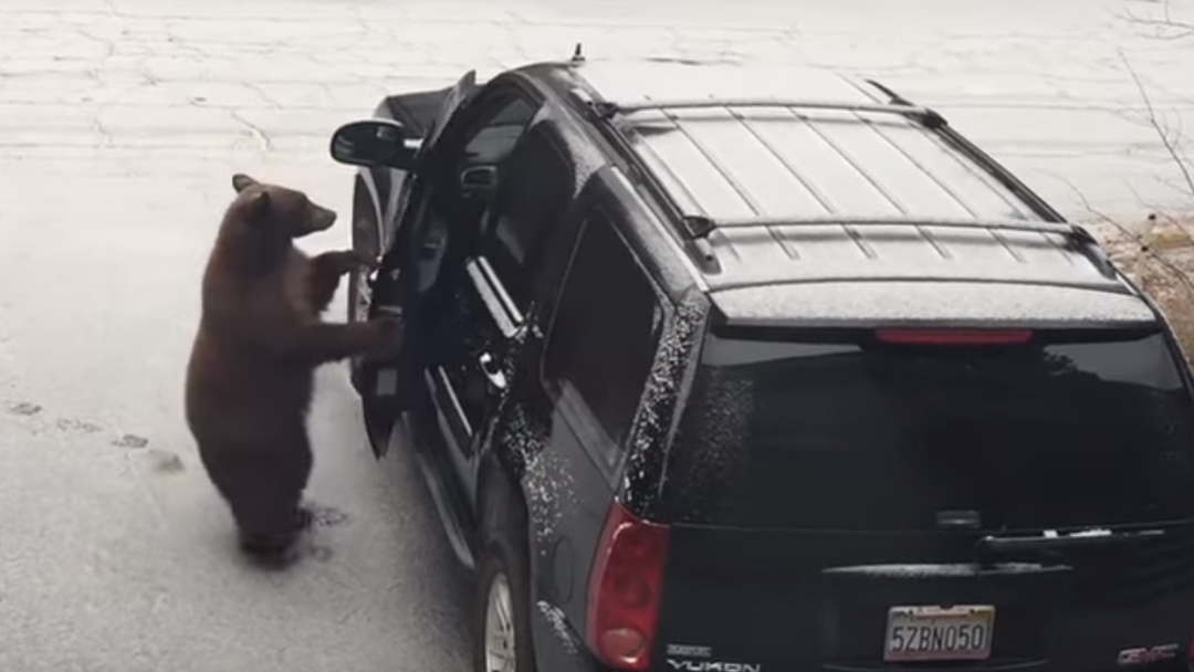 Video de un oso entrando a una camioneta en California