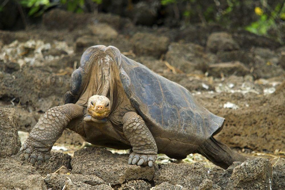 Tortuga gigante de Galápagos se apareó tanto que salvó a su especie