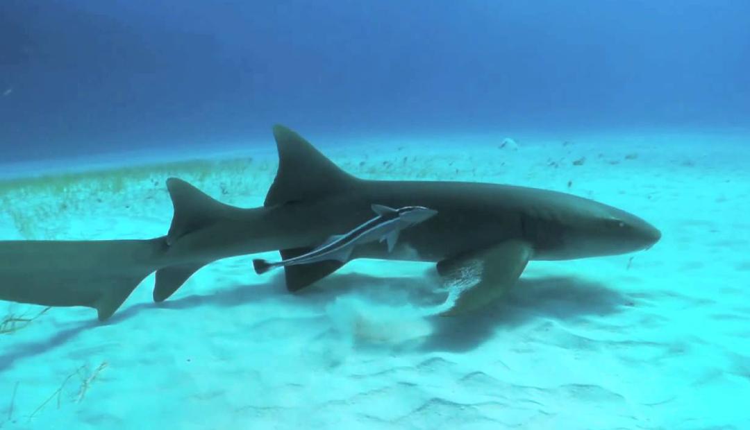 Tiburones gato serán liberados por maltrato en acuarios.