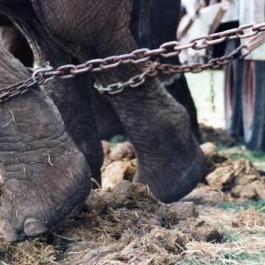 Maltratan elefante en templo budista; gime de dolor.