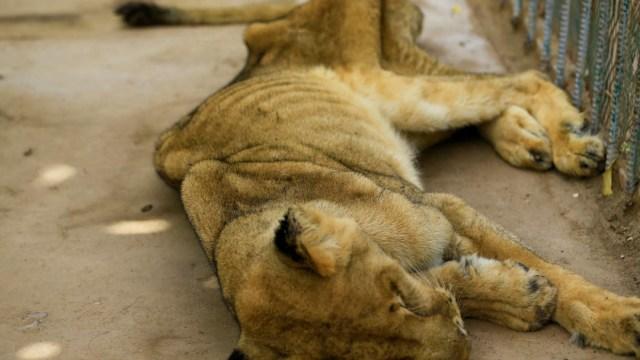 Piden salvar leones desnutridos de un parque en Sudán.