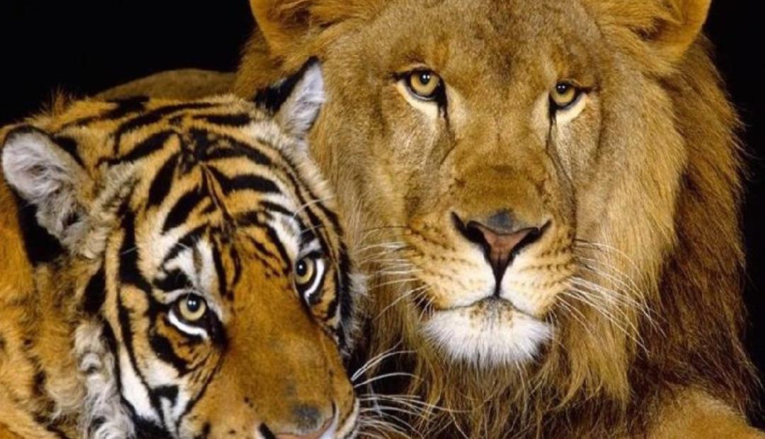 Rescatan a 17 animales de circo y los envían a Sudáfrica.
