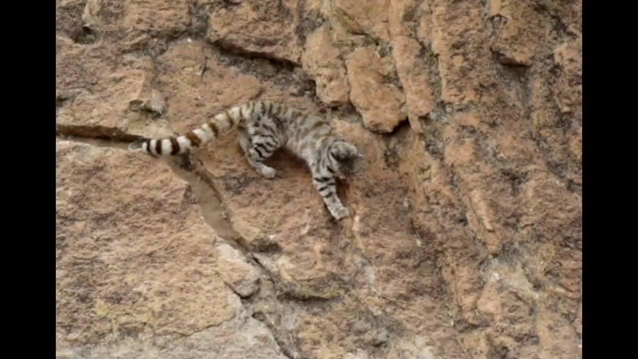 Reaparece el felino más amenazado del Continente