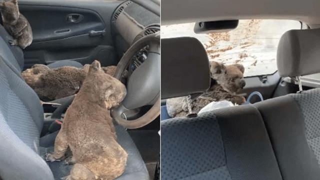 Australia: Dos Adolescentes Convierten Su Coche En Una Ambulancia Para Koalas Heridos