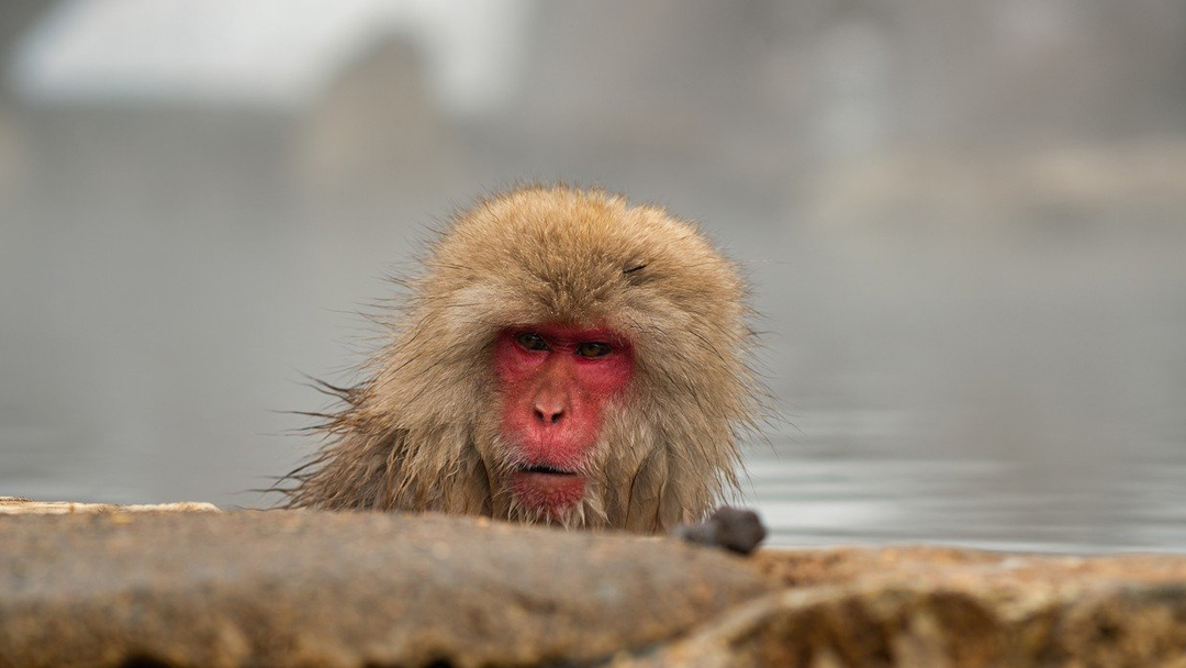 Macacos-Herpes