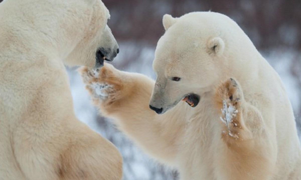 A causa del deshielo, en el ártico hay osos polares caníbales (Imagen: Milenio)
