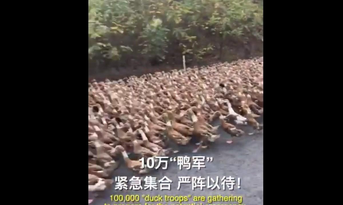 Patos, China, Plaga Langostas, Pakistán