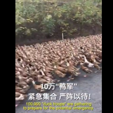 Patos, China, Plaga Langostas, Pakistán