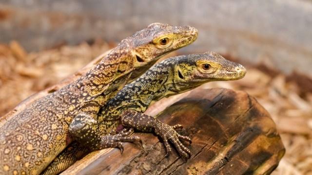 Dragón Komodo, Reproducción, Asexual, Crías