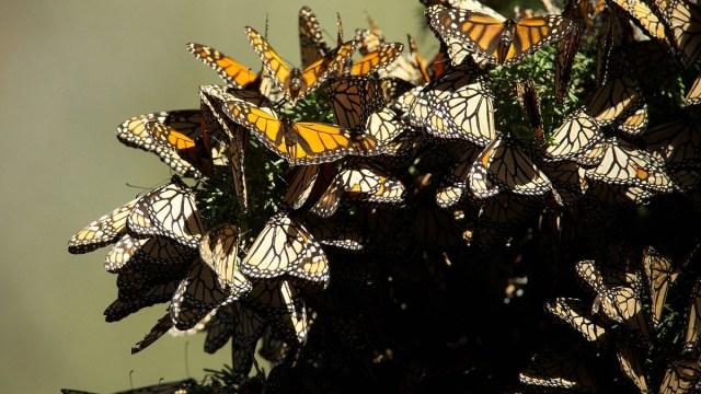 Mariposa Monarca, México, Temporada, Extinción