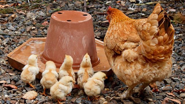 Pollios, Triurados, Licuadora, Animales