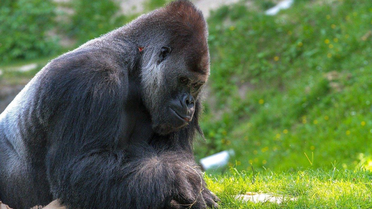 Proteger Gorilas, Africa Cerrara, Parques, Coronavirus