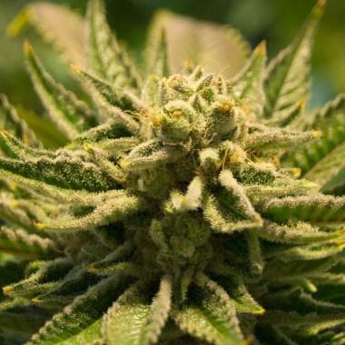 Cannabis, Marihuana, Pandemia, Coronavirus