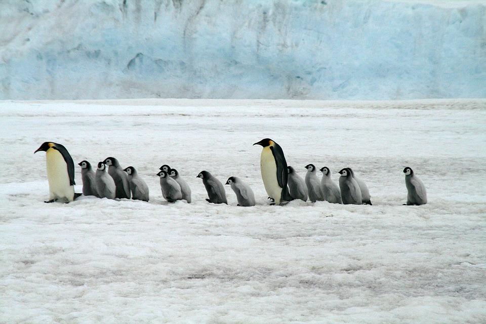Excremento de pingüino produce altas cantidades de 'gas de la risa': estudio