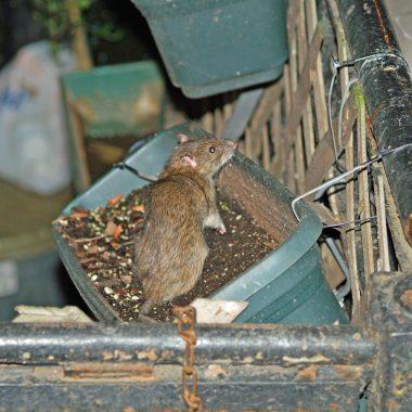 Ratas se vuelven más agresivas por escasez de basura ante pandemia de Covid