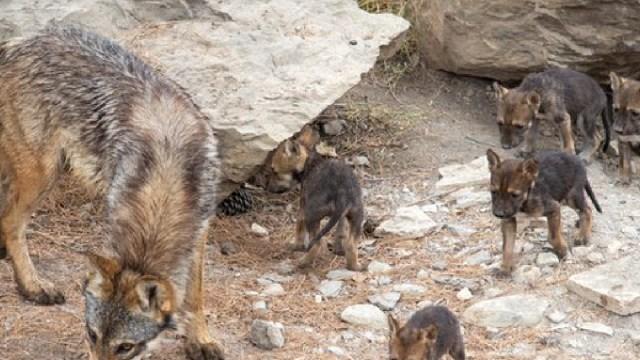Cachorros, Lobo, Saltillo, Extincion