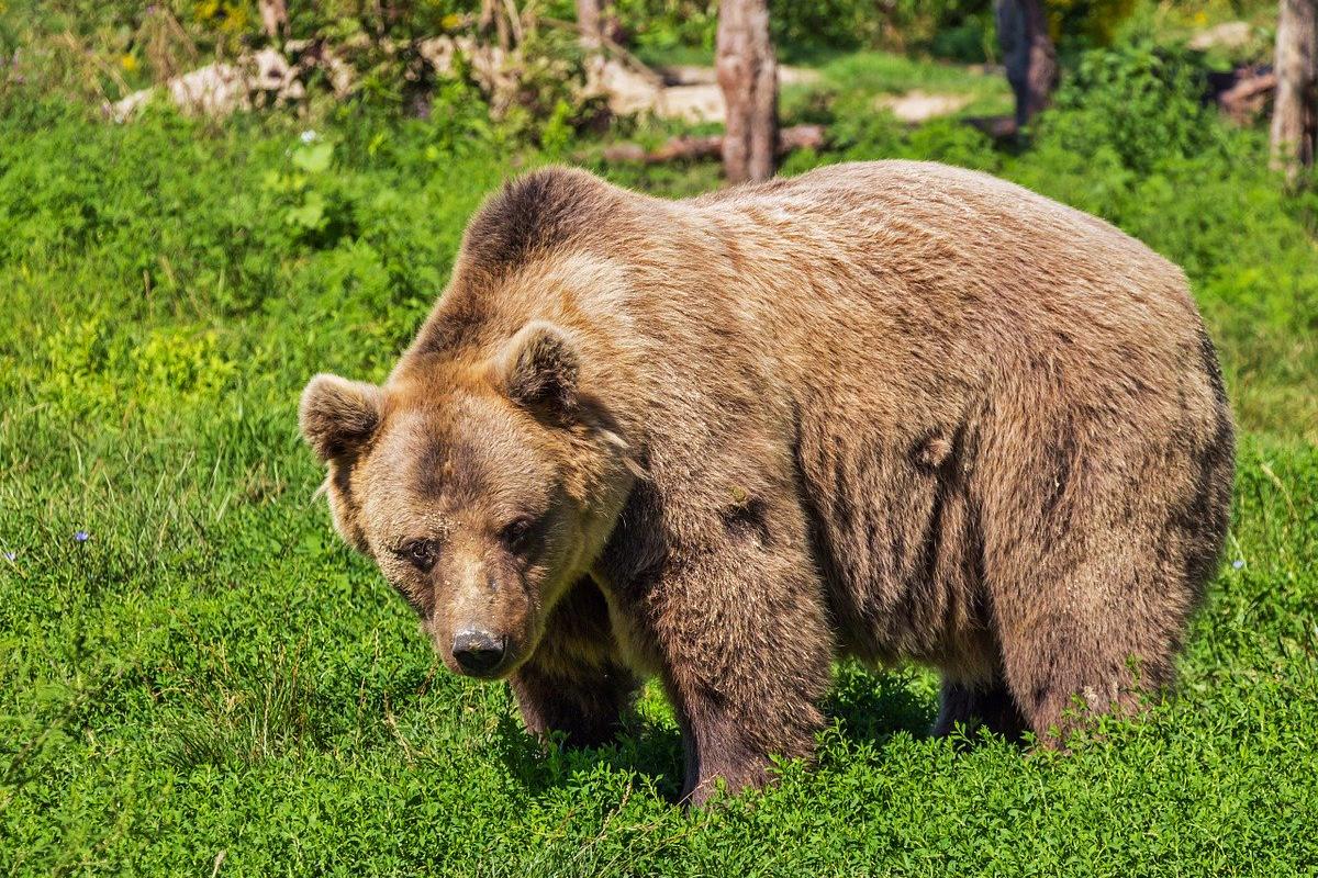 """Activistas indignados afirman que el gobierno de Italia puso una condena de muerte al oso sin un """"juicio""""por ataque a excursionistas"""