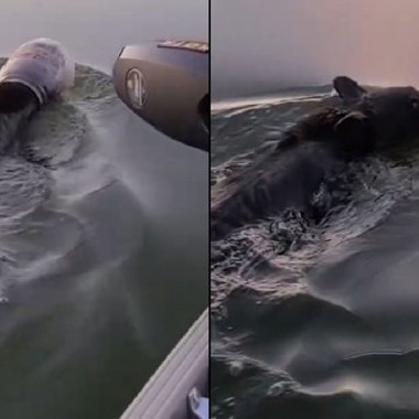 Salvaron a un oso que nadaba con un contenedor de plástico atascado en su cabeza