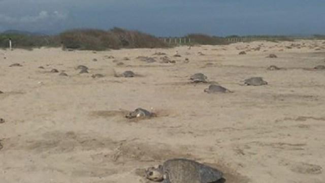 Tortugas golfinas desovaron en Puerto Escondido, La temporada de anidamiento comenzó con 15 mil tortugas