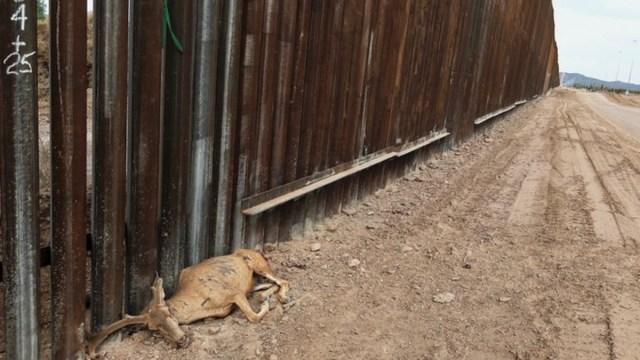 Muere especie protegida por Muro de Trump