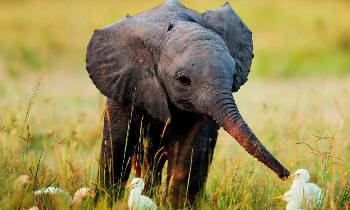 Nacen 140 elefantes bebé en Kenia