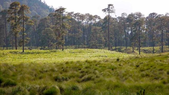 Reforestan bosque con plantas exóticas en Milpa Alta; lo clausuran