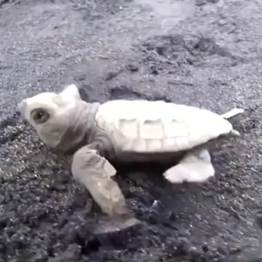 Miles de tortugas marina bebé en peligro de extinción ahora nadan libres en Balí tras ser rescatadas, Captura de Pantalla
