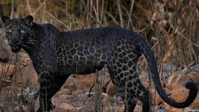 Un leopardo negro fue capturado en foto por un turista durante un safari en la India