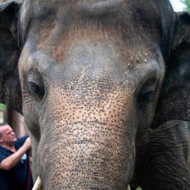 Elefante Kaavan será liberado después de 35 años