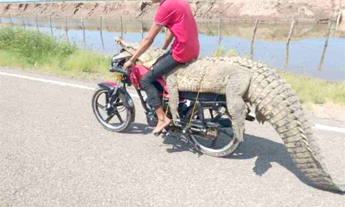 Jóvenes atrapan cocodrilo y se lo llevan en motocicleta