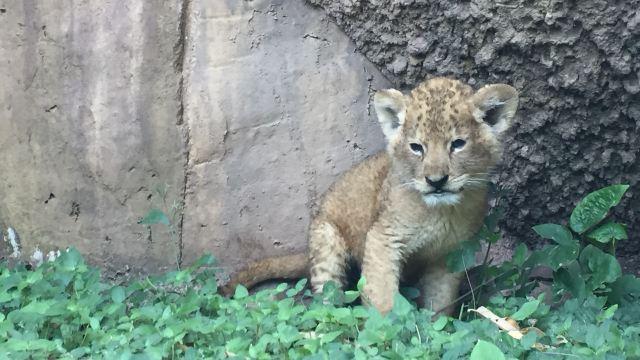 Sinaloa: rescatan un león africano bebé en Culiacán
