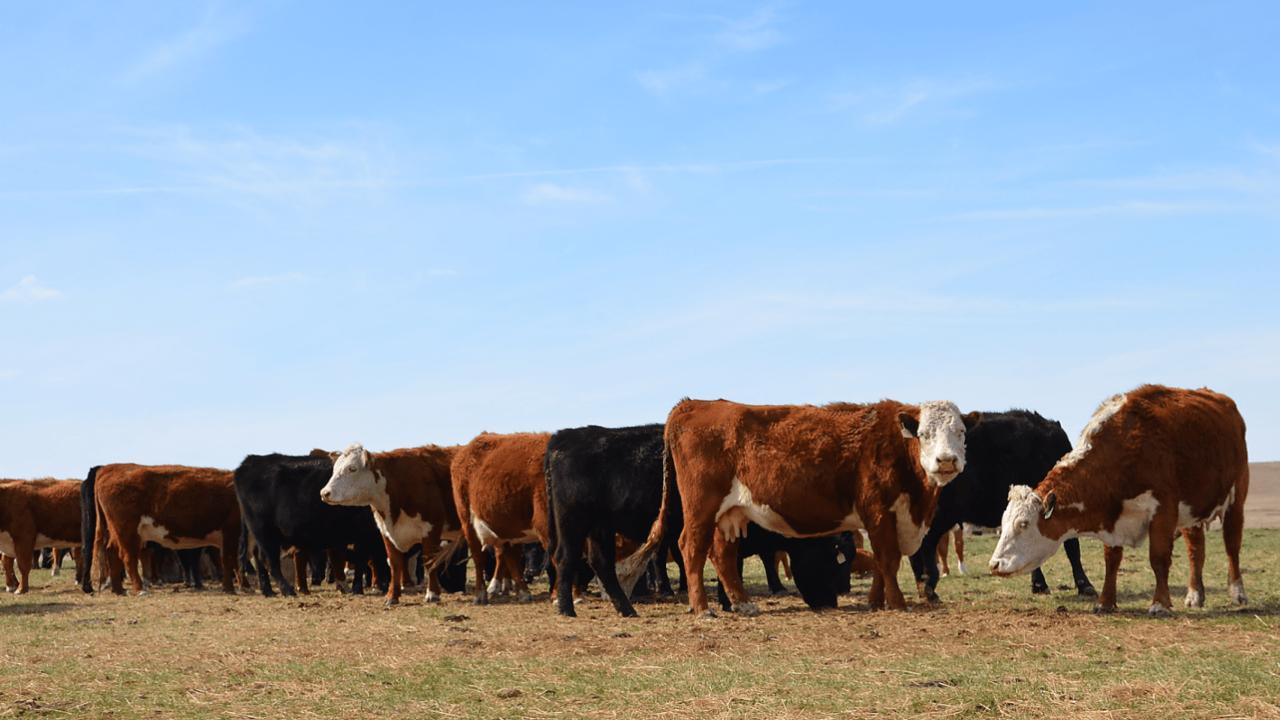 ganaderos Sonora subastan ganado por sequía