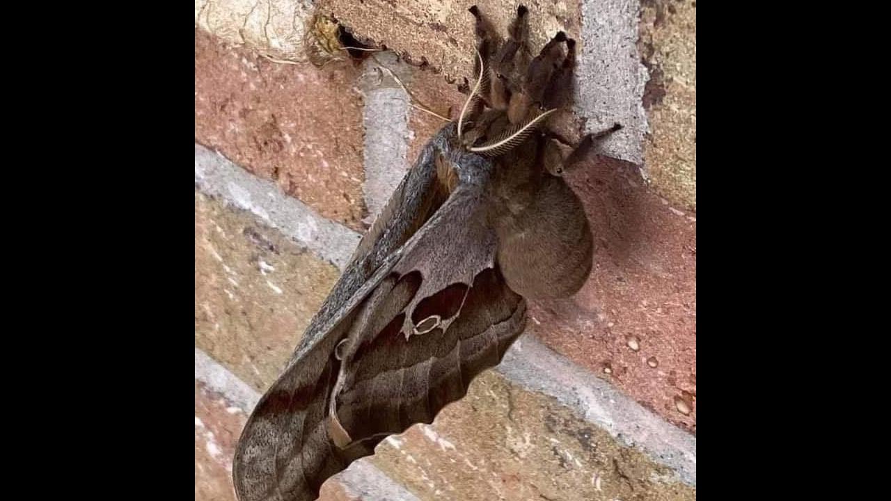 """En redes sociales están circulando fotos de estas """"tarántulas con alas"""". Sí existen pero no son lo que la mayoría piensa"""