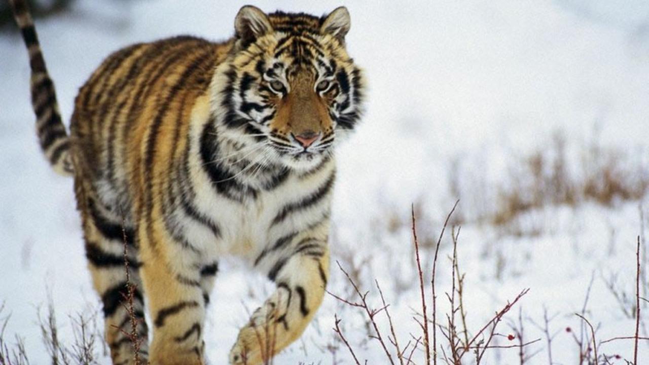 aumentó población tigre siberiano Rusia