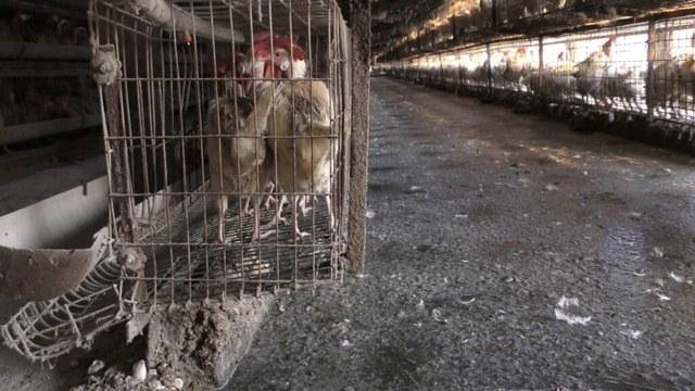 industria del huevo México oculta tortura gallinas denuncia ONG