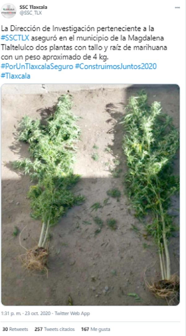 SSC Tlaxcala decomisa 2 plantas marihuana
