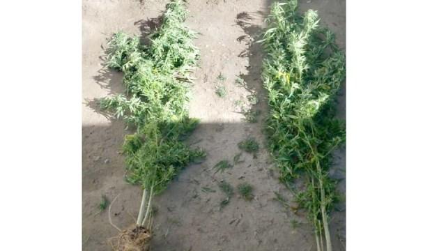 Tlaxcala decomiso 2 plantas marihuana furor redes sociales