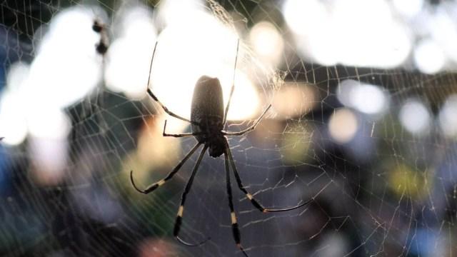 Esta especie de arañas atan y violan a las hembras