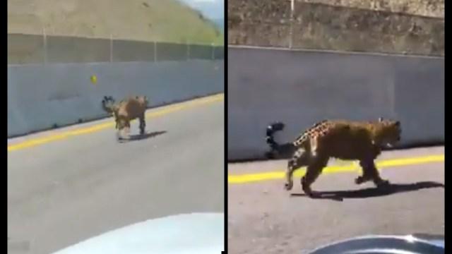 Grabaron en video a un jaguar caminando por la autopista Jala-Compostela, que se encuentra en el estado de Nayarit