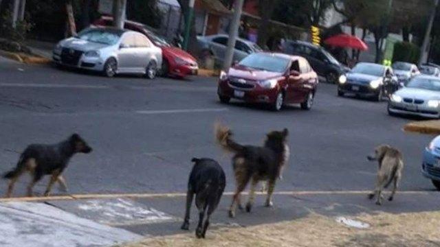 Un video mostró a unos perros devorando a otro perro, por lo que las autoridades de Naucalpan, Edomex, los están buscando