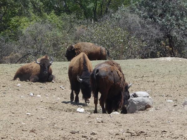 Sedena preserva especies peligro extinción Chihuahua