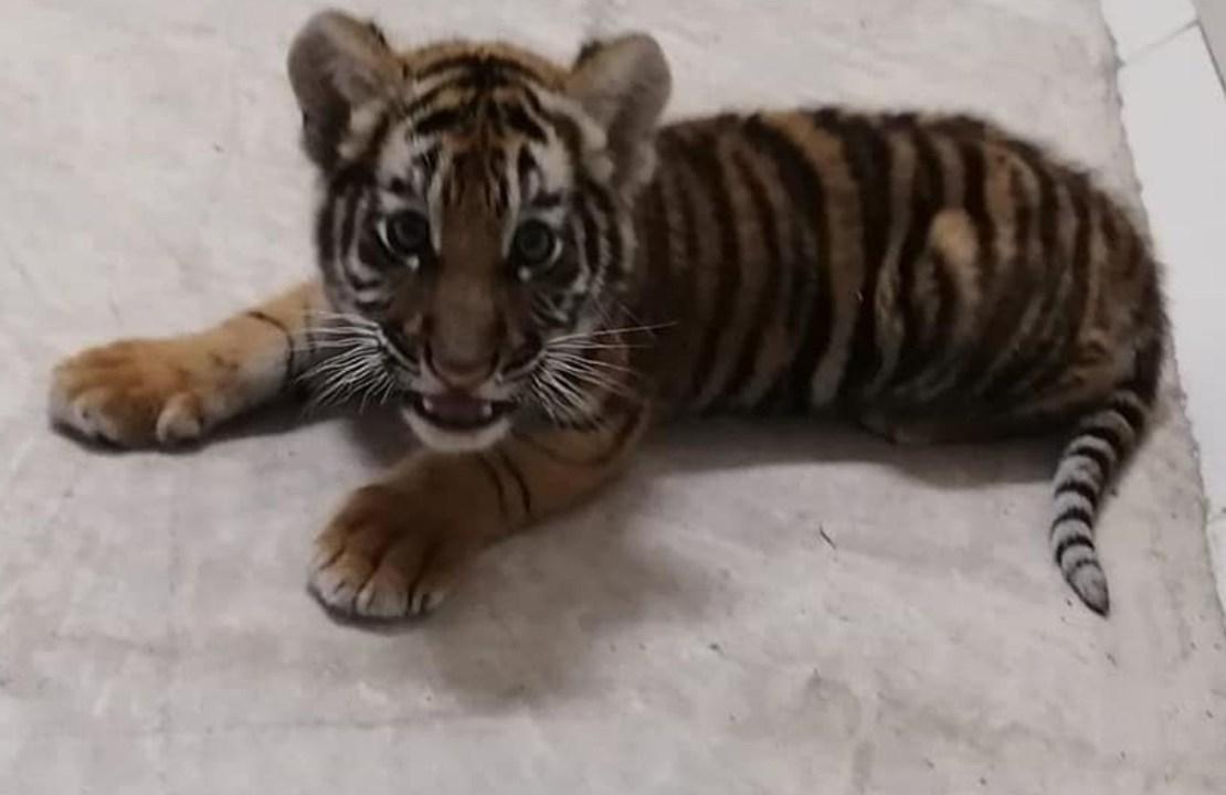 Bomberos rescatan a tigre de bengala cachorro en Jalisco
