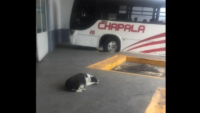 vaca perrita espera diariamente mejor amigo humano central autobuses Chapala Jalisco