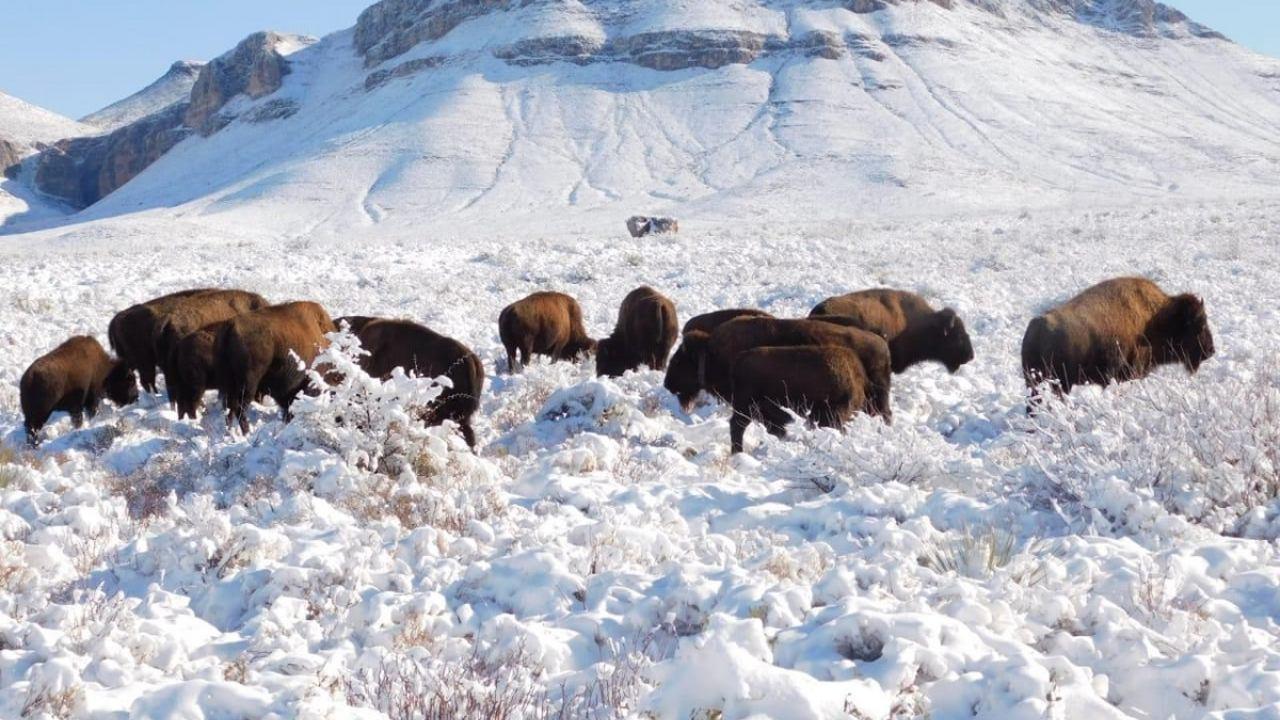 Luego de 100 años México reintroduce bisonte americano hábitat